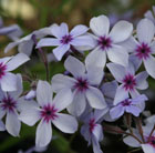Phlox divaricata subsp.  laphamii 'Chattahoochee' (phlox)