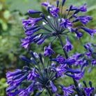 Agapanthus Back in Black ('B in B') (PBR) (African lily)