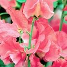 Vera Lynn Sweet Pea Seeds