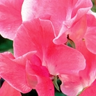 Hearts Delight Sweet Pea Seeds