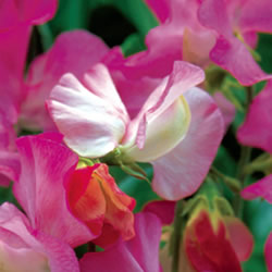 Celia Sweet Pea Seeds