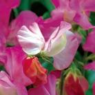 Celia Sweet Pea Seeds