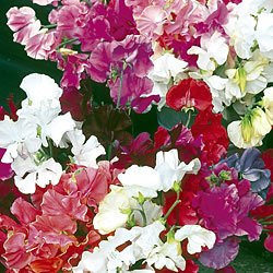 Unwins Sweet Pea Special Choice Mixed Seeds