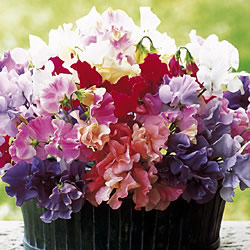 Sweet Pea Plants (25 Mixed Plants)