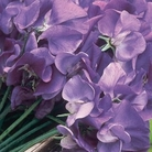 Sweet Pea Super Fragrant Plant Collection