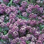 Alyssum Oriental Night Seeds