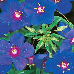 Anagallis Blue Pimpernel Seeds