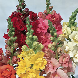 Antirrhinum Madame Butterfly Seeds