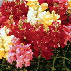 Antirrhinum Kim Mixed Seeds