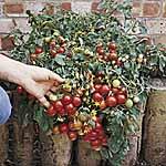 Tomato F1 Tumbler Seeds