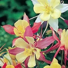 Aquilegia McKanas Long Spurred Hybrid Seeds