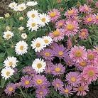 Aster (Alpine) Dwarf Fairy Mixed Seeds