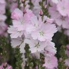 Sidalcea malviflora 'Elsie Heugh' (prairie mallow)