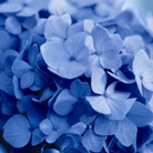 Hydrangea macrophylla Endless Summer Blue  ('Bailmer') (hydrangea)