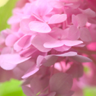 Hydrangea macrophylla Endless Summer Pink  ('Bailmer') (hydrangea)