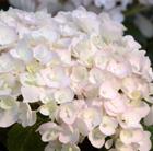 Hydrangea Endless Summer Blushing Bride ('Blushing Bride') (hydrangea)