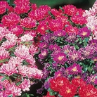 Aster Dwarf Queen Mixed Seeds