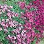 Aubrieta Spring Cascade Seeds