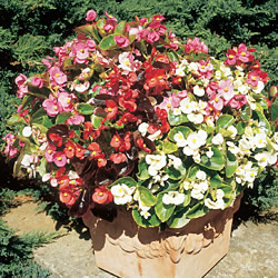 Begonia Organza Mixed Seeds