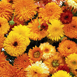 Calendula Long Flowering Mixed Seeds