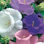 Canterbury Bells Cup and Saucer Mixed Seeds