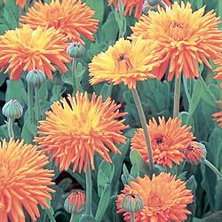 Calendula Pacific Beauty Mixed Seeds