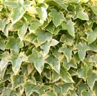 Hedera helix 'Goldchild' (common ivy)