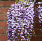 Wisteria floribunda 'Yae Kokuryu' (wisteria ( syn.Wisteria Black Dragon ))