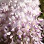 Wisteria floribunda 'Kuchi beni' (Japanese wisteria (Syn. Wisteria Lipstick ))