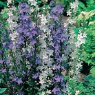Campanula Blue & White Bells Seeds