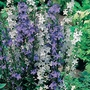 Campanula Blue &amp; White Bells Seeds