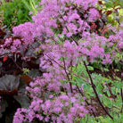 Thalictrum 'Black Stockings' (meadow rue)
