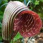Cobra lily