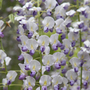 Wisteria floribunda 'Multijuga' (Japanese wisteria (syn. W. Macrobotrys))