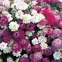 Candytuft Dwarf Fairy Mixed Seeds