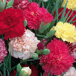 Carnation Early Flowering Mixed Seeds