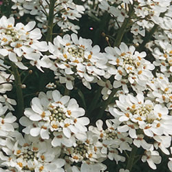 Candytuft Snowflake Seeds
