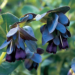 Cerinthe Blue Kiwi Seeds