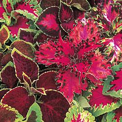 Coleus Warpaint Seeds