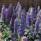 Delphinium Blue Fountains Seeds