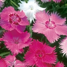 Dianthus Sweetness Seeds