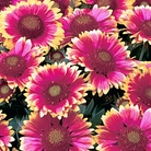 Gaillardia Summer Fire Seeds