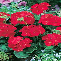 Geranium Simply Red Seeds