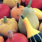 Gourd Autumn Treasures (Ornamental) Seeds