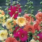 Hesperis (Sweet Rocket) Enchantment Seeds