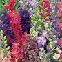 Larkspur Unwins Choice Blend Seeds