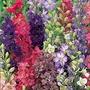 Larkspur Unwins Choice Blend Seeds