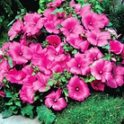 Lavatera Hot Pink Seeds