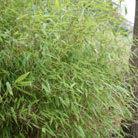 Fargesia murieliae (umbrella bamboo)