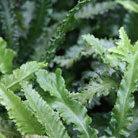 Asplenium scolopendrium Crispum Cristatum Group (hart's tongue fern)